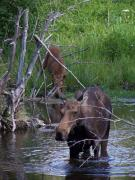Moose Digital Art Prints - Moose and Baby Tetons Print by Vijay Sharon Govender