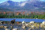 Mount Katahdin Posters - Moose and Mount Katahdin Poster by John Burk