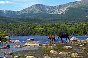 Mt. Katahdin Framed Prints - Moose Baxter State Park Maine 2 Framed Print by Glenn Gordon