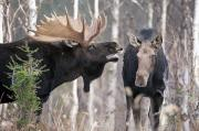 Scents Art - Moose. Male And Female During The Rut by Philippe Henry