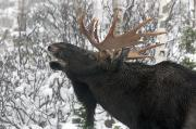Open Mouths Posters - Moose. Male In A Posture Known Poster by Philippe Henry