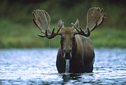 Alces Alces Posters - Moose Male Raising Its Head While Poster by Tim Fitzharris