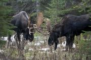 Out-of-door Prints - Moose. Males Fighting During The Rut Print by Philippe Henry