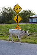 Cow Humorous Photos - Mooving along by Toni Hopper