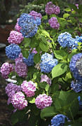 Everlasting Flower Photos - Mophead Hydrangeas by Teresa Mucha