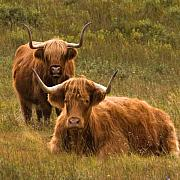 Coos Framed Prints - Morag and Hamish Framed Print by John McKinlay