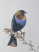 Blackbird Drawings Metal Prints - More Cowbird Metal Print by James Strohmeyer
