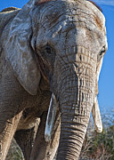 Elephant Photos - More Than Skin Deep by Steve Harrington