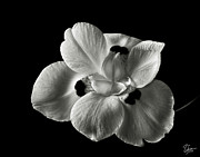 Flower Photos Framed Prints - Morea Lily 2 in Black and White Framed Print by Endre Balogh