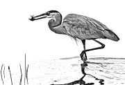 Great Blue Heron Black And White Posters - Morning Catch Poster by Don Durfee