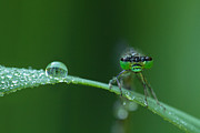 Damselfly Prints - Morning Damselfly Print by Mircea Costina Photography