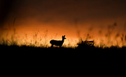 Deer Silhouette Prints - Morning Doe Print by Wayne Stadler
