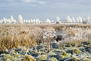 Reed Bed Prints - Morning Frost Print by Duncan Shaw
