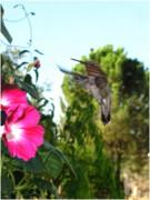 Joyce Dickens - Morning glories and Humming Bird