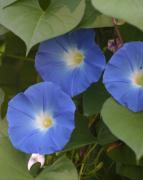 Lewistown Prints - Morning Glories Print by Carla Neufeld