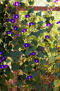 Trellis Framed Prints - Morning Glories Framed Print by Margie Hurwich