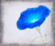 Blooming Digital Art - Morning Glory by Betty LaRue