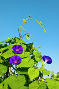 Morning Flower Prints - Morning Glory Print by John Greim