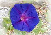 Still Life Photo Originals - Morning Glory by Terence Davis