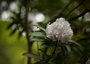 Rhodies Prints - Morning Grace Print by Mike Reid