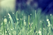 Green Blade Of Grass Posters - Morning Grass Poster by Photography by Lana Galina