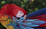 Macaw Photos - Morning grooming by Christopher Williams
