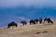 Grazing Art - Morning in Ngorongoro Crater by Adam Romanowicz