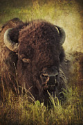 Bison Prints - Morning in the Prairie Print by Iris Greenwell