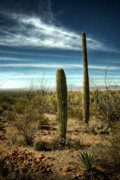 Saguaros Posters - Morning in the Sonoran Desert Poster by Saija  Lehtonen