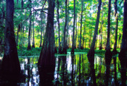 Acadian Prints - Morning in the Swamp Print by Thomas R Fletcher