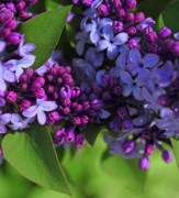 Lilac Prints - Morning Lilacs Print by The Forests Edge Photography - Diane Sandoval
