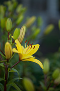 Floral Metal Prints - Morning Lily Metal Print by Mike Reid