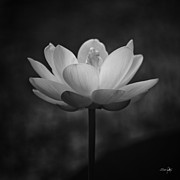Morning Lotus Print by Scott Pellegrin