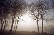 Bare Trees Metal Prints - Morning Mist Co Wicklow, Ireland Metal Print by The Irish Image Collection