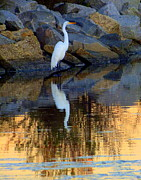 Egrets Posters - Morning of Apricot Poster by Karen Wiles