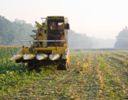 Sweet Corn Farm Prints - Morning Picking Print by Tim  Fitzwater