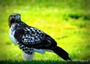 Red Tail Hawk Art - Morning Prey by Rhonda DePalma