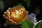 Amee Stadler - Morning Rose