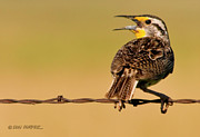 Meadowlark Originals - Morning Song by Don Durfee