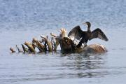 Cormorant Photos - Morning Stretch by Theo Tan