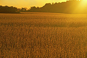 Soybean Prints - Morning Sunrise On Golden Fields Print by Matt Champlin