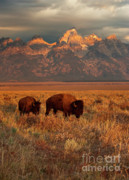 Bison Prints - Morning Travels in Grand Teton Print by Sandra Bronstein