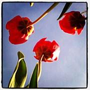 Picoftheday Posters - Morning Tulips #flowers #perspective Poster by Adam Romanowicz