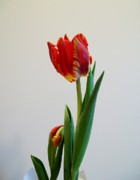 White Red And Yellow Framed Prints - Morning Two of Tulip Opening Framed Print by Marsha Heiken