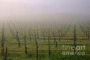 Grape Vineyard Framed Prints - Morning Vineyard Framed Print by Balanced Art