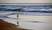 Snowy Egret Prints - Morning Walk At Ormond Beach Print by Steven Sparks