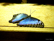 Ebsq Photo Prints - Morpho Butterfly Print by Kimmary I MacLean