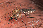 Fauna Metal Prints - Mosquito Biting A Human Metal Print by Ted Kinsman