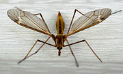 Mosquito Hawk Print by The Kepharts