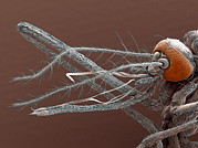 Proboscis Photos - Mosquito Mouthparts, Sem by Steve Gschmeissner